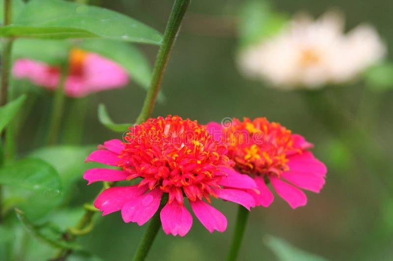 Queste pom-pom a forma di fioriture di zinnia affascinano con la loro forma insolita e colore brillante immagine stock