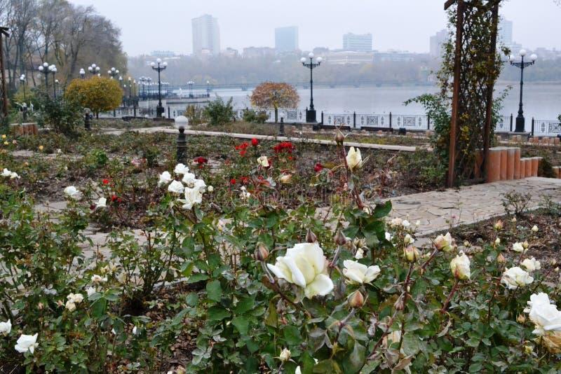 Queste sono rose bianche, rose rosse in autunno in anticipo immagine stock