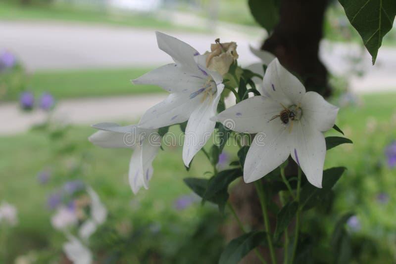 Questi hel bianchi di bellezze una presenza fotografia stock libera da diritti
