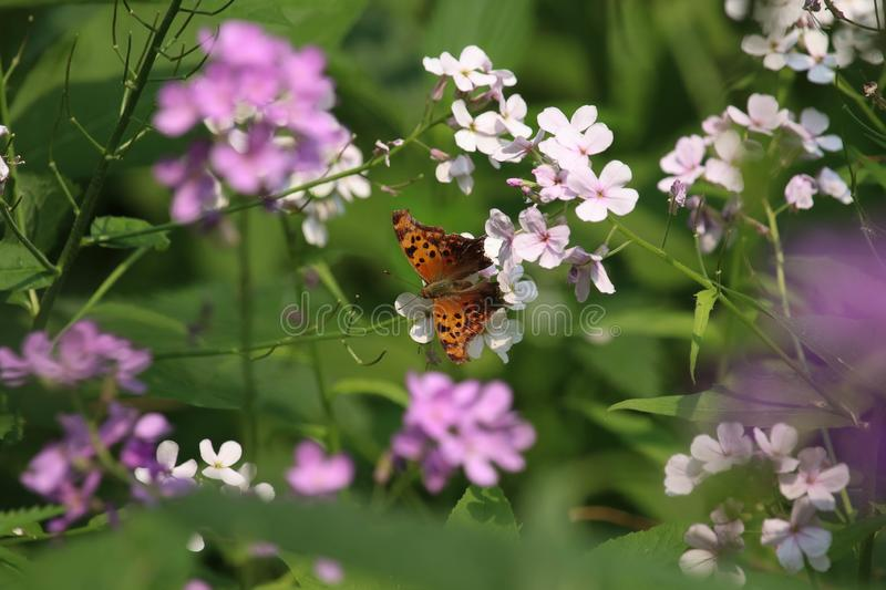 A Question Mark butterfly, feeding on the nector from a phlox flower.Purple phlox wildflower. A close up of a Question Mark butterfly royalty free stock images