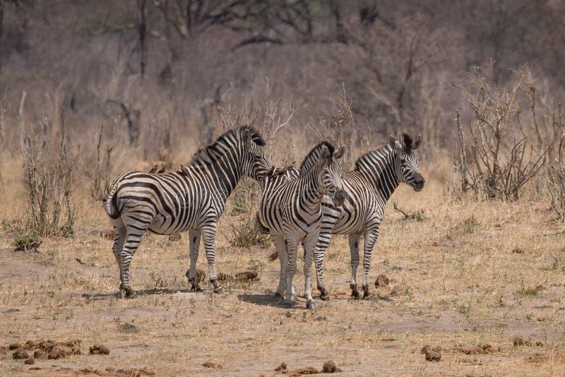Questo gruppo di zebra sta andando dopo avere bevuto al waterhole fotografie stock