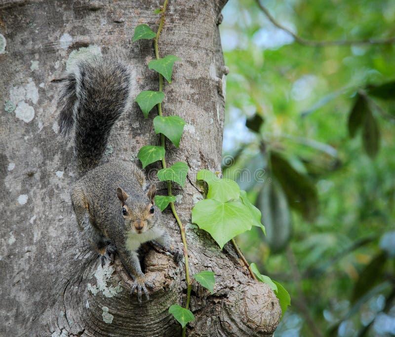 Scoiattolo sull'albero della magnolia fotografia stock libera da diritti