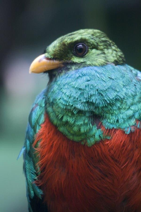 Quetzal de Resplendant image stock