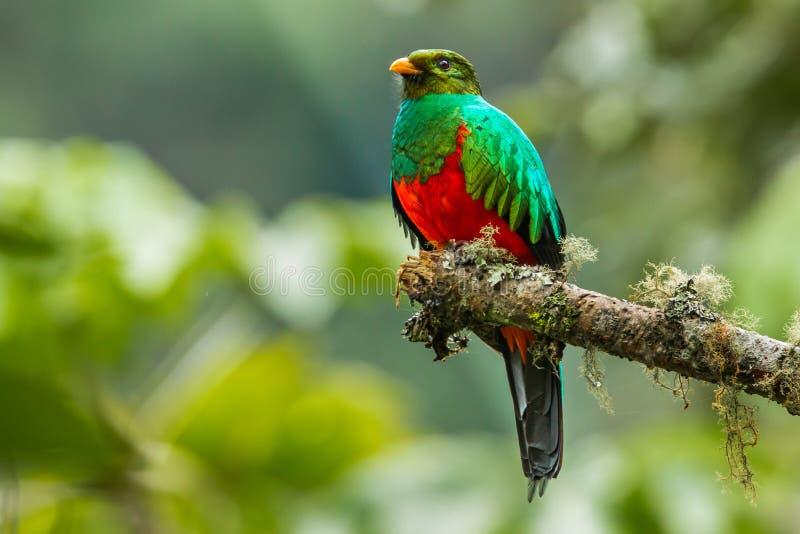 Quetzal dirigido de oro imagen de archivo