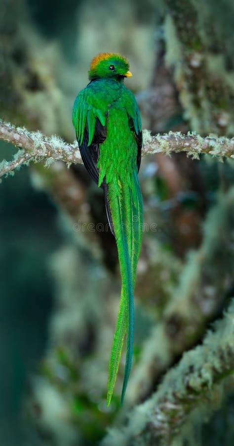 Quetzal resplandecente, mocinno de Pharomachrus, pássaro verde sagrado magnífico com a cauda muito longa de Savegre em Costa Rica fotografia de stock royalty free