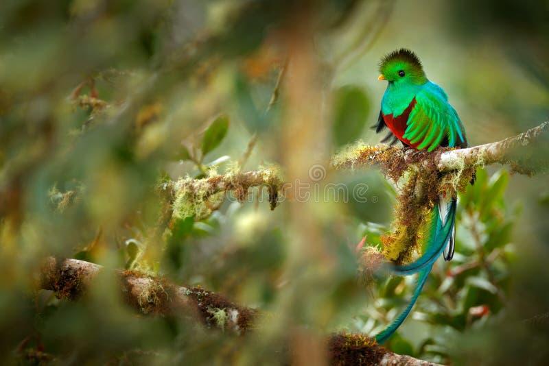 Quetzal resplandecente, Savegre em Costa Rica com a floresta verde no fundo Pássaro verde e vermelho sagrado magnífico Retrato do imagem de stock royalty free
