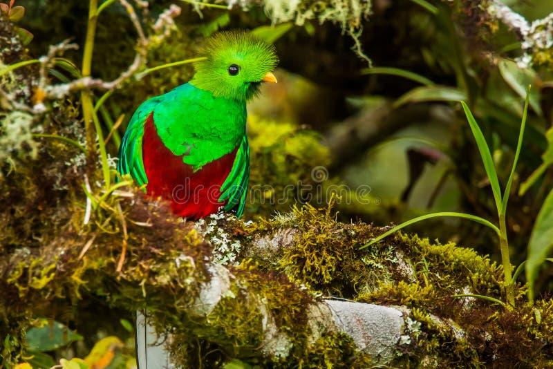 Quetzal risplendente immagine stock