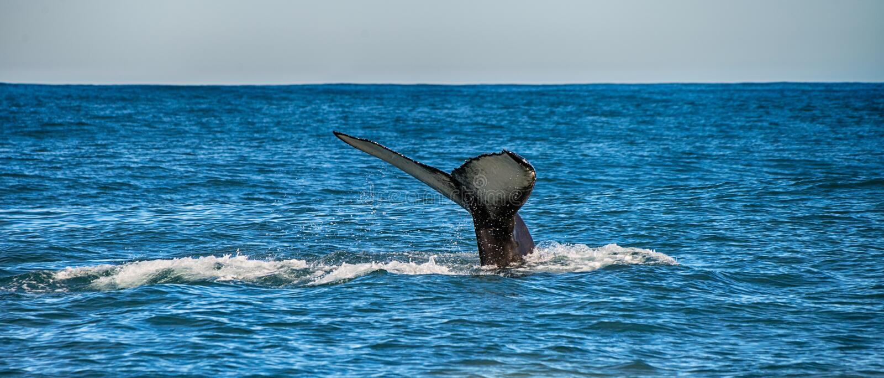 Queue d'une baleine dans Husavik, Islande images stock
