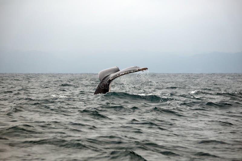 Queue d'une baleine de bosse en Equateur photo libre de droits