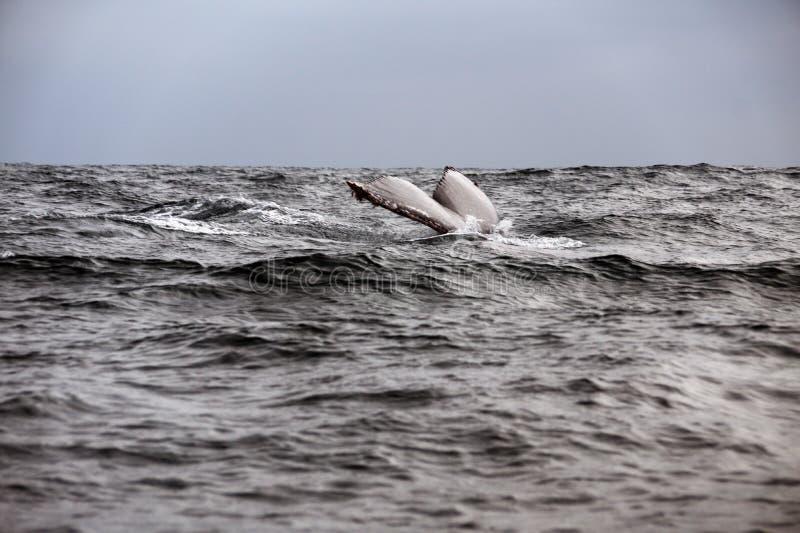 Queue d'une baleine de bosse en Equateur image libre de droits