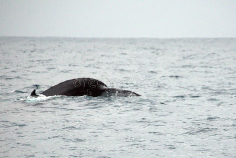 Queue d'une baleine de bosse en Equateur photographie stock