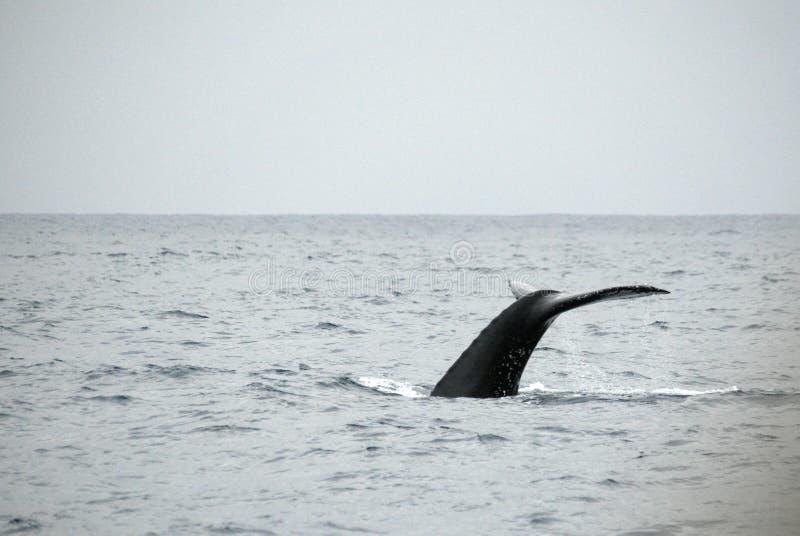 Queue d'une baleine de bosse en Equateur photo stock