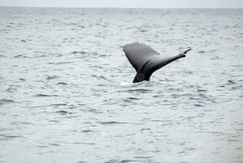 Queue d'une baleine de bosse en Equateur images libres de droits