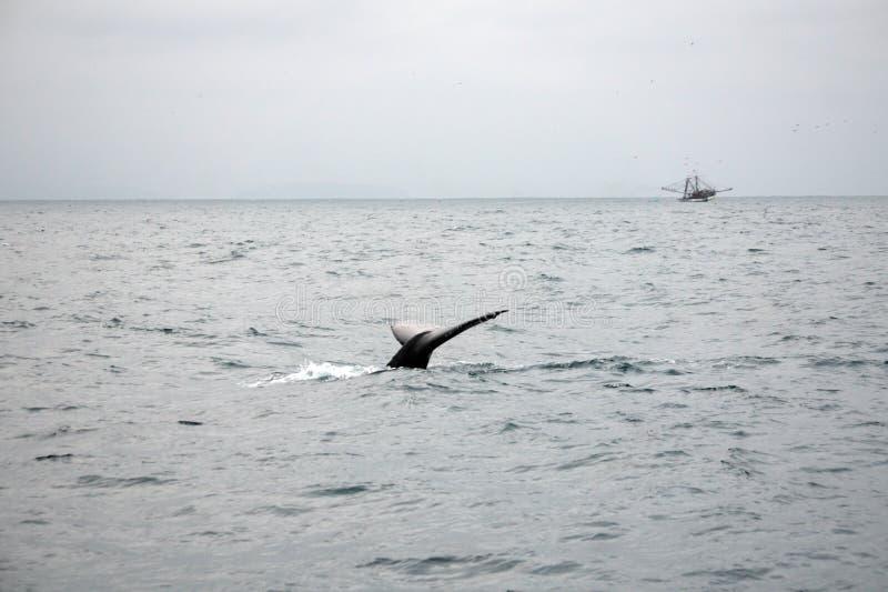 Queue d'une baleine de bosse en Equateur photos libres de droits
