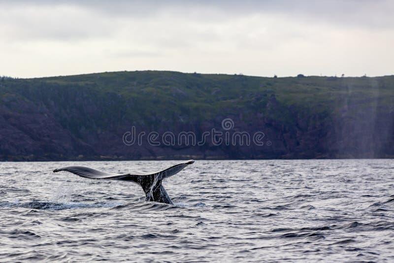 Queue de baleine de bosse photos libres de droits