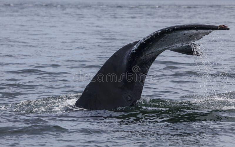 Queue de baleine de bosse photo libre de droits
