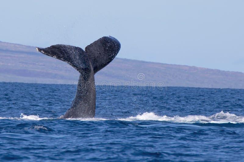Queue de baleine de bosse dans le paysage marin d'océan d'Hawaï images stock