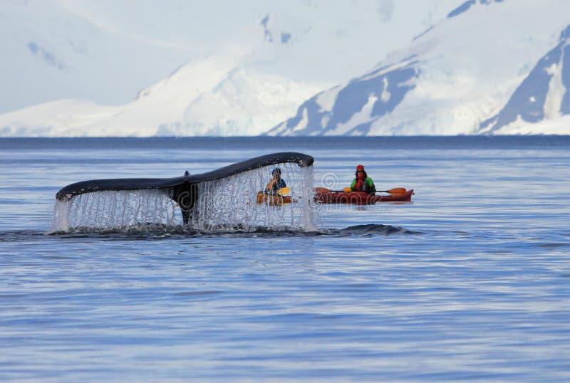 Queue de baleine de bosse avec le kayak, bateau, bateau, montrant sur le piqué, péninsule antarctique photo libre de droits