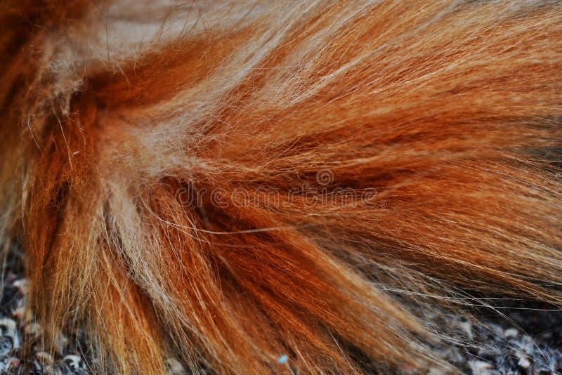 Queue de chat de ragondin de Maine photographie stock