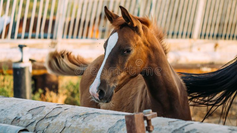 Queue de oscillation de jeune cheval images stock