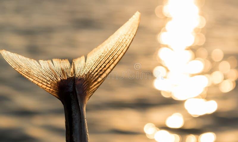 Queue de thon de pied-de-poule photographie stock