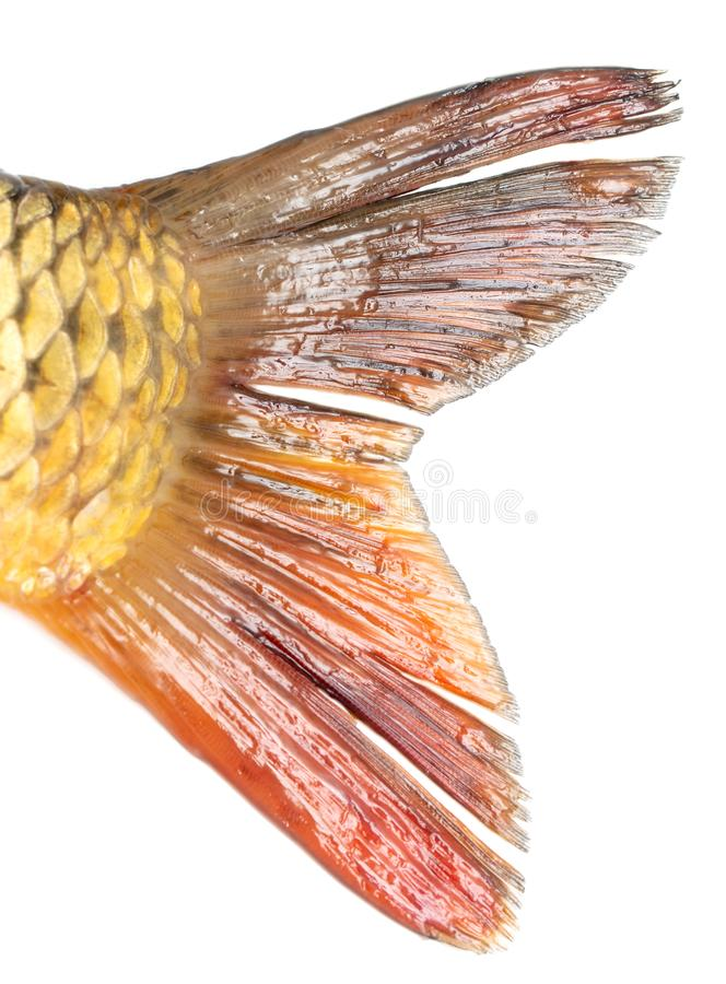 Queue des poissons de carpe d'isolement sur le fond blanc photos stock