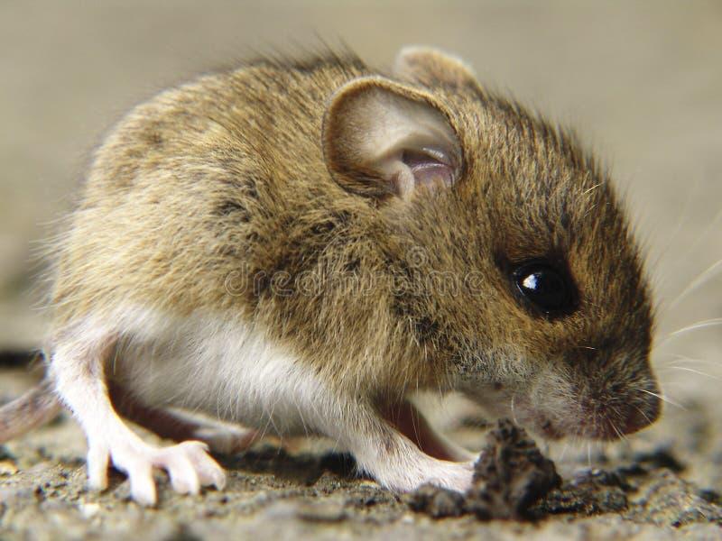 Quiet come mouse immagine stock