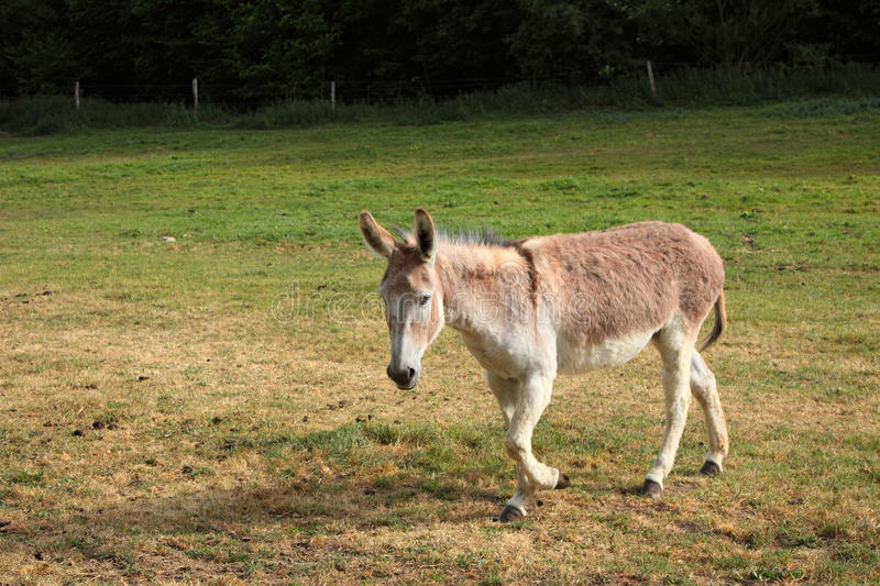 Download Quiet donkey stock image. Image of donkey, domestic, young - 22635389