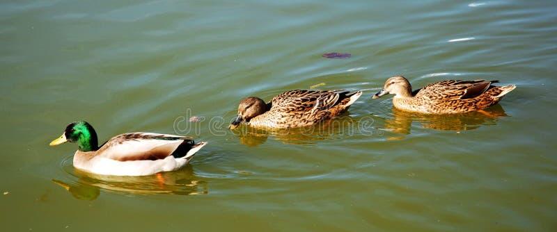 Quiet ducks swimming stock images