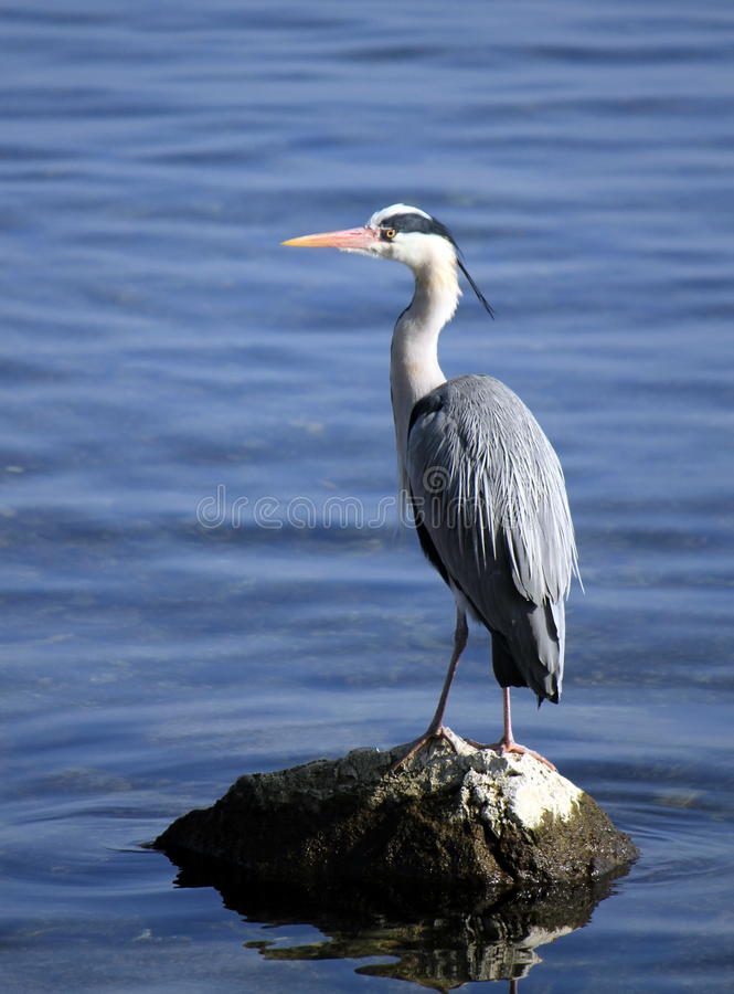 Heron on a rock royalty free stock photography