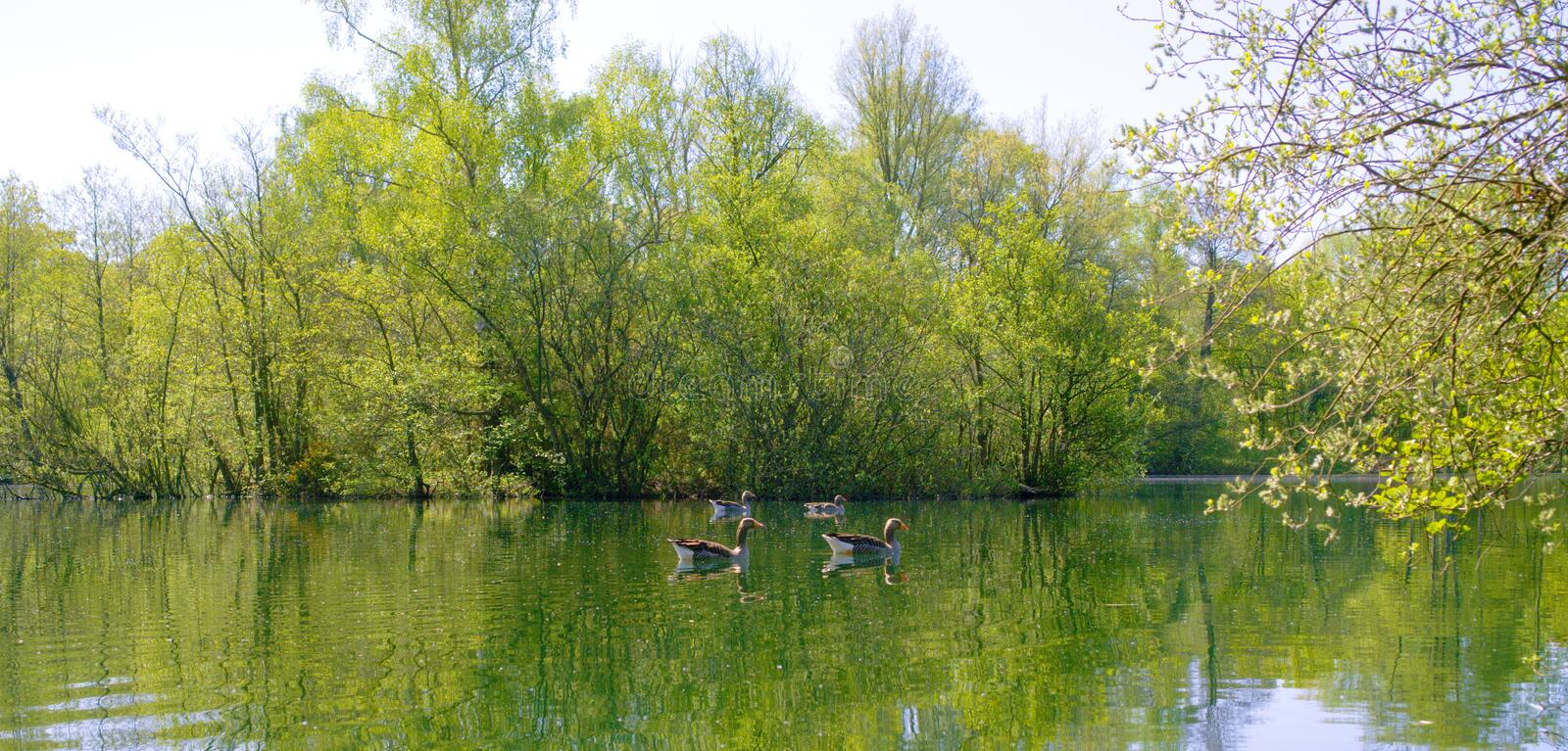 Quiet lake with Greylag geese. stock image