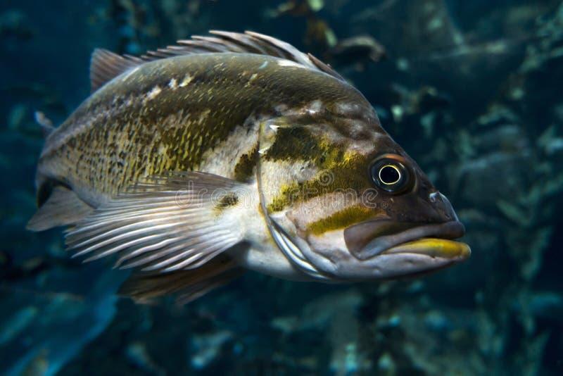 Quillback-Klippenbarsch Sebastes-maliger, Frischwasserfisch lizenzfreie stockbilder