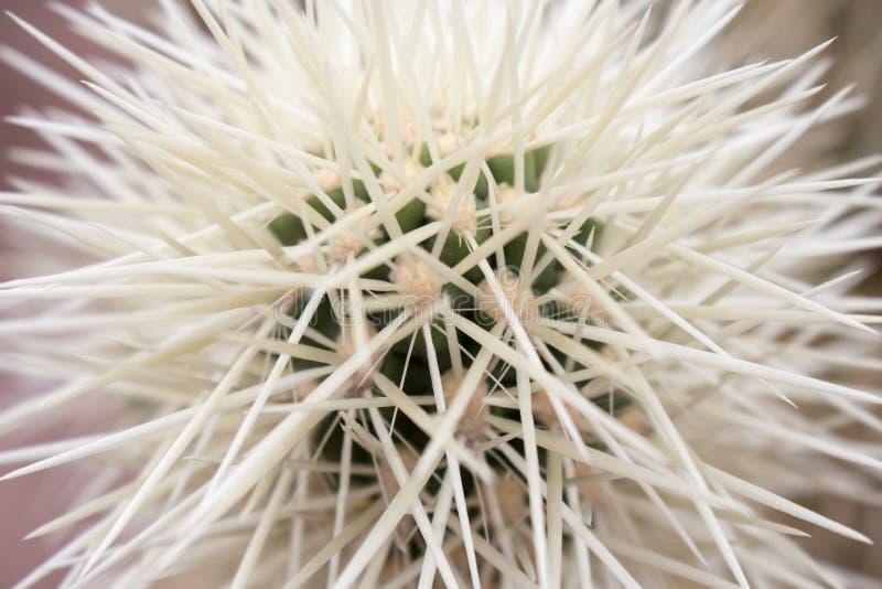 Quills кактуса стоковое фото rf