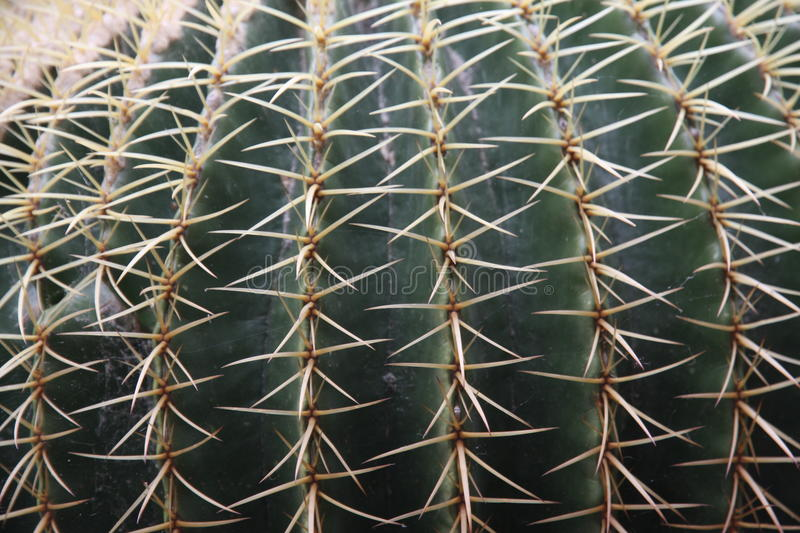 Quills and prickly cactus spines of a dangerous succulent plant. Quills and prickly cactus spines of a very dangerous succulent plant stock photos