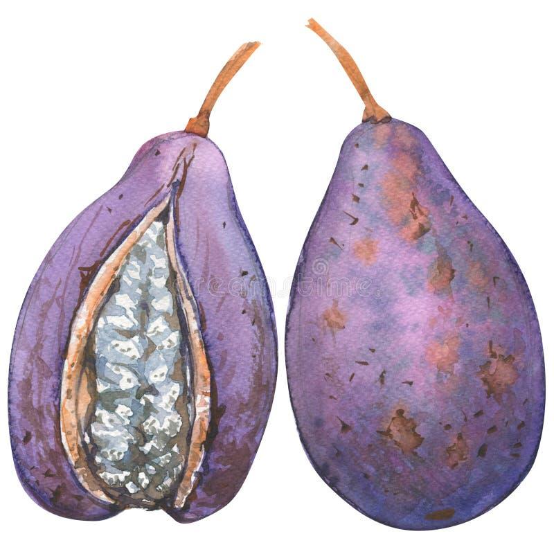 Quinata de Akebia, Akebi, fruta exótica, objeto entero, aislado, ejemplo de la acuarela en blanco stock de ilustración