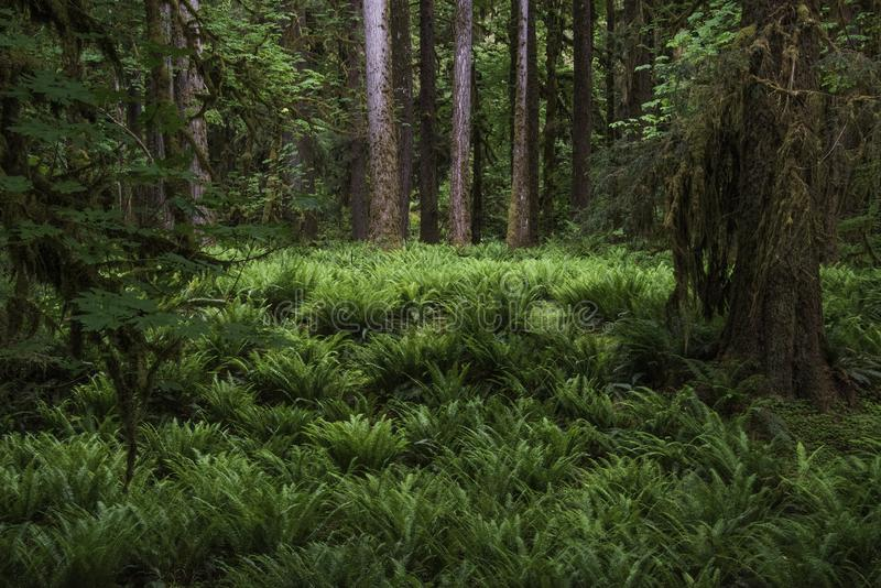 Fern Grotto In The Quinault Rainforest royalty free stock photos
