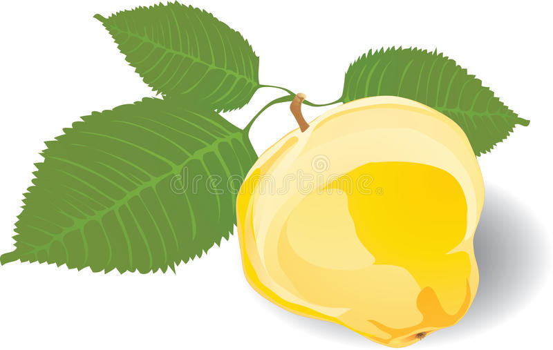 Download Quince stock vector. Image of background, leaf, quince - 11939321
