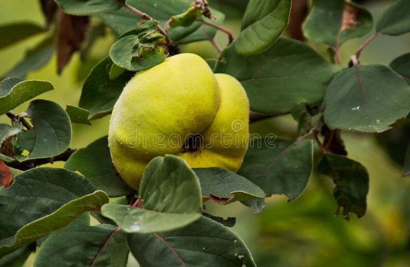 Download Quince Royalty Free Stock Image - Image: 26999816