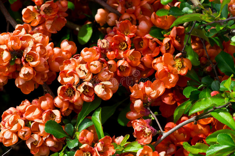 Download Quince blossom stock image. Image of blooming, bloom - 24775863
