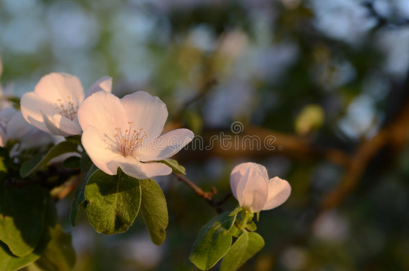 Download Quince blossom stock photo. Image of outdoor, background - 29026268