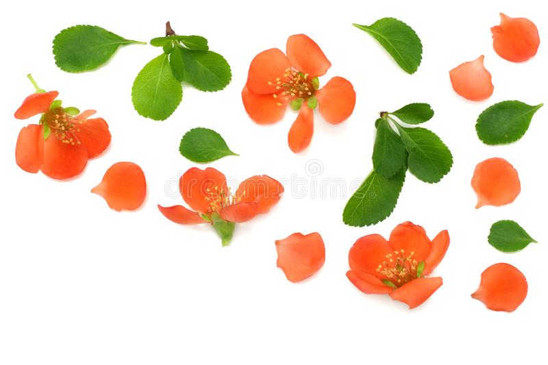 Quince blossom on blue wooden background. red flowers. top view royalty free stock photography