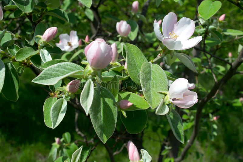Quince in blossom stock photos