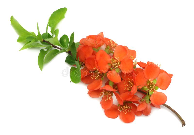 Quince blossom isolated on white background. red flowers. top view with copy space royalty free stock images