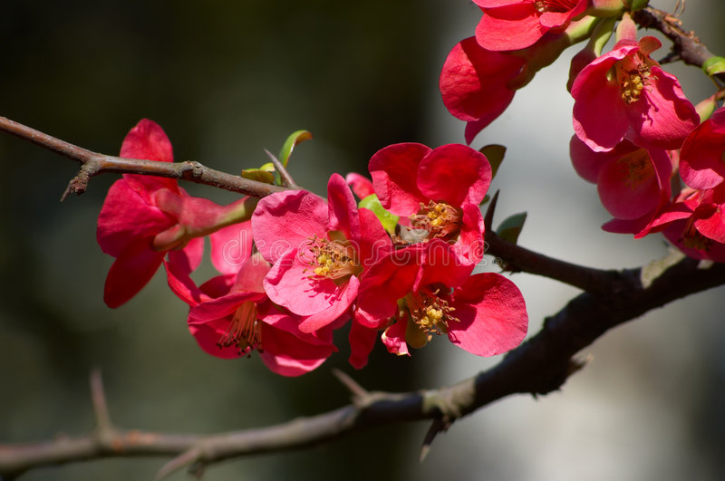 Quince blossoms. Red blossoms on the branch of japanese quince tree royalty free stock photo