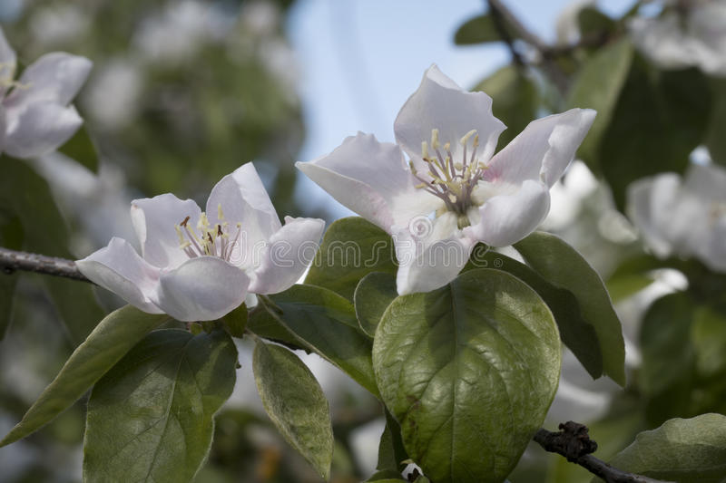 Quince Blossoms. These are the blossoms of the fruiting quince variety, cydonia royalty free stock photography