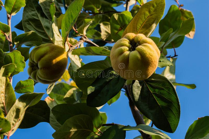 Quince Cydonia oblonga. Ripe fruit quinces on tree. Fruits on background sky. stock image