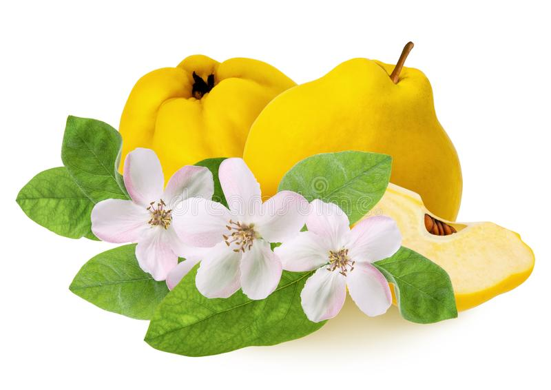 Quince fruit isolated. Whole ripe  raw yellow quince and lobule with flowers and green leaves isolated on white background as. Detail for design package,close stock photos