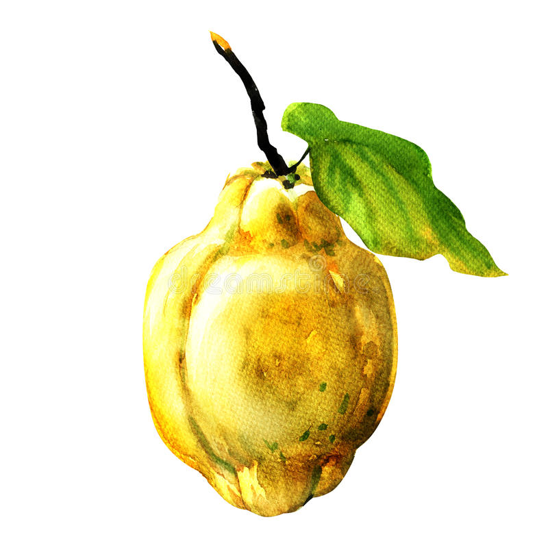 Quince fruit with leaf on white royalty free illustration