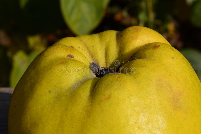Quince. Fruits - quince, fresh vitamins. Close up royalty free stock image