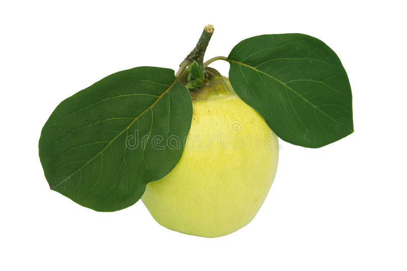 Quince and leaf. Quince and two leaf . Farm quince stock photography